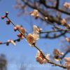 清洲城の桜の見頃は?花見の時期の見どころは?ライトアップされる?
