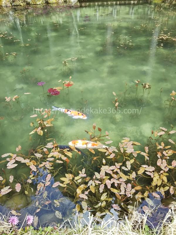 モネの池がやや綺麗になってきた頃の写真