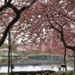 なばなの里の桜は?開花や見頃はいつ?ライトアップは何時から?