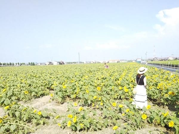 大垣ひまわり畑の写真